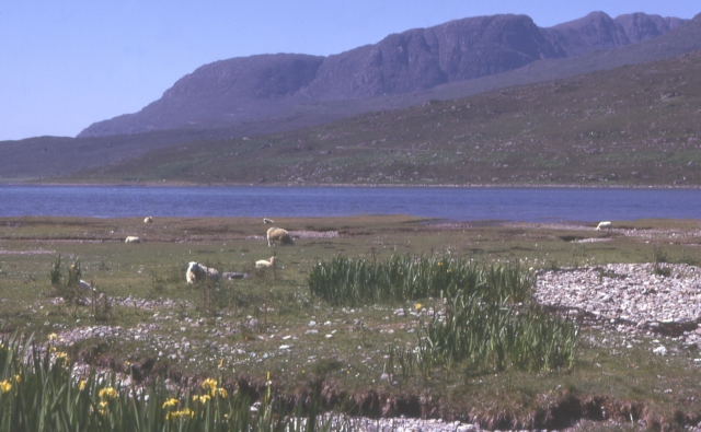 loch_kishorn_sheep