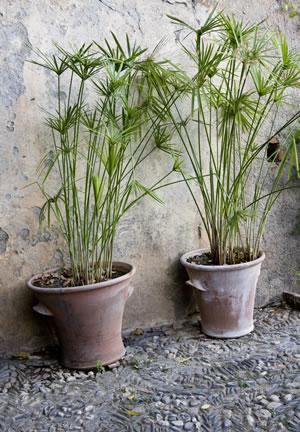 zyperngras-GartendialogDE