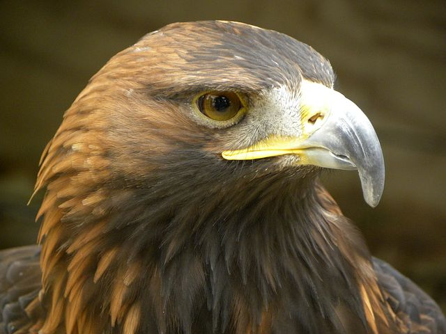 golden-eagle-eagle-1487227__480