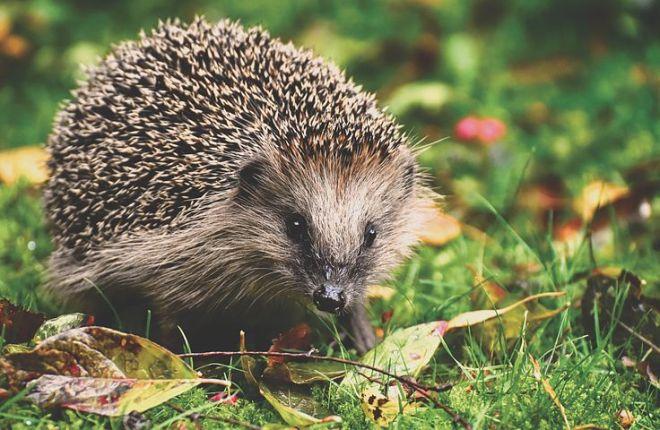 hedgehog-3703244__480
