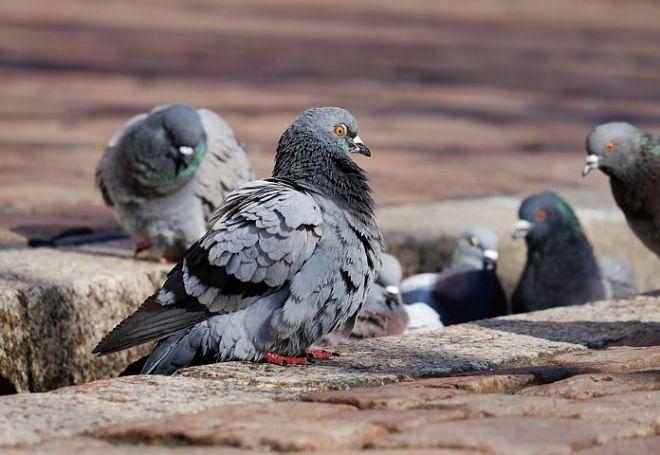 pigeons-3268990__480