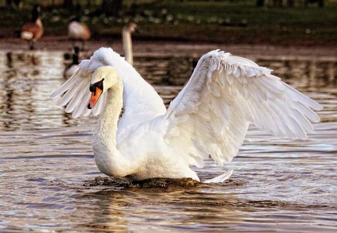 swan-839598__480