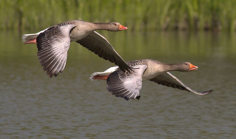 canada-geese-348290__480