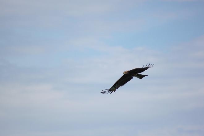 golden-eagle-2917303_1280
