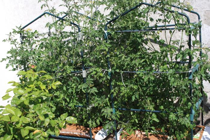 2019-07-05 12.19.14 Tomaten