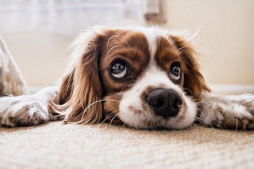 Puppy_dog-2785074__340